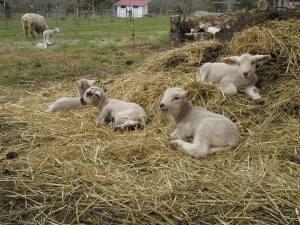 comfy-lambs