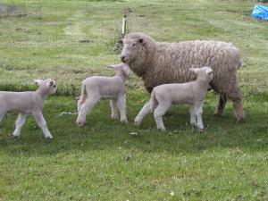 lamb-trio