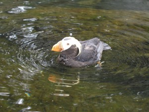 32_ tufted puffin