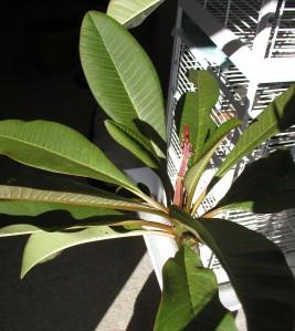 flowering plumeria