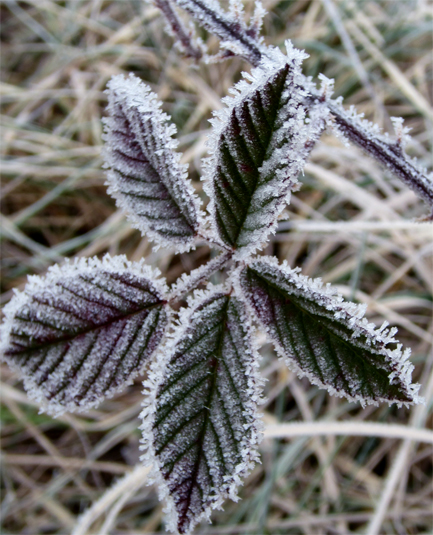 blackberry2_frost