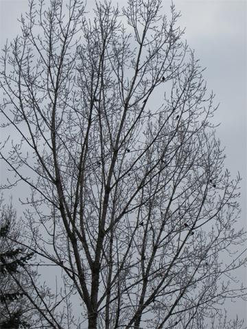 treetbirds_frost