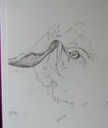 sketch-sheep5-15-13-geveret