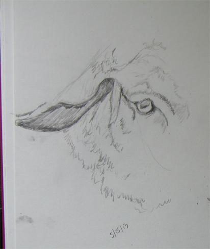 sketch-sheep5-15-13-geveret