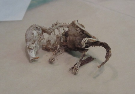 shrew skeleton