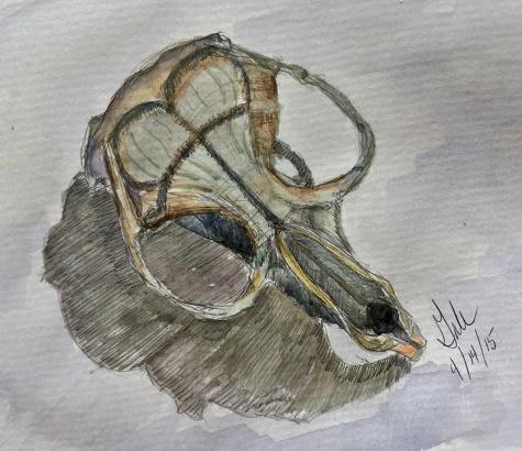 vole skull sketch