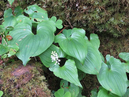 wild lilly of the valley