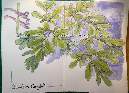 Scouler's Corydalis- Gale Everett Studio
