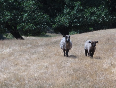 sheep pair