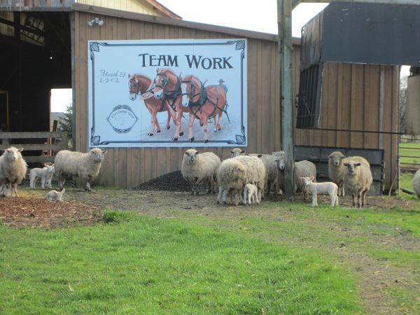 Teamwork n sheep