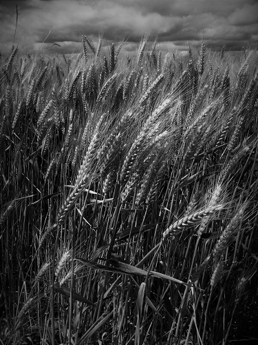 BW wheat_southcorvallis
