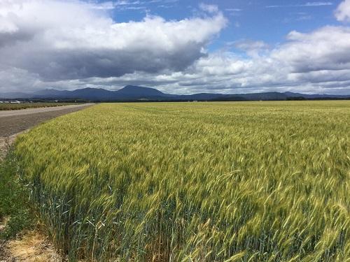 wheat field_marys peak