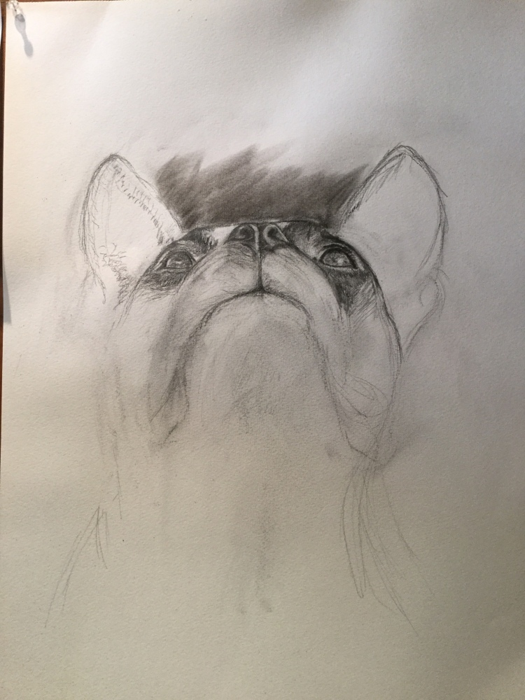 Boston Terrier, gale everett studio 2019