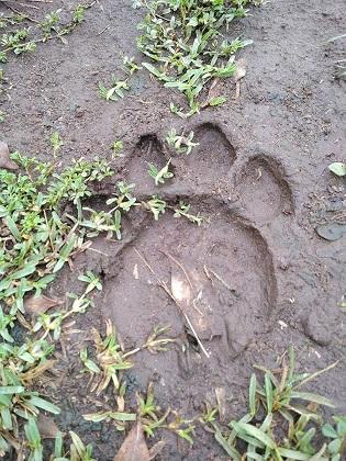 Royal Mara Lion Track