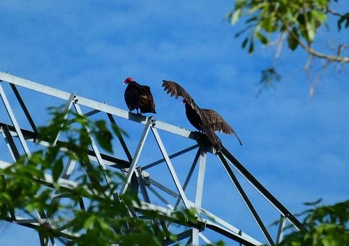 vulture pair_geverettstudio