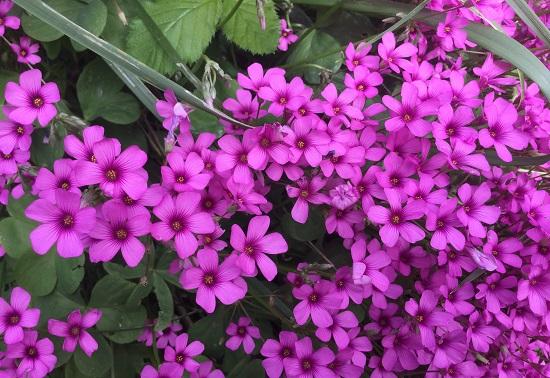 oxalis blooms_geverettstudio