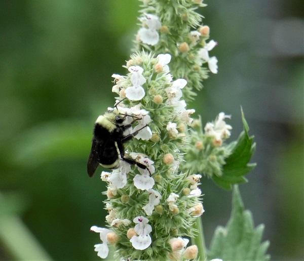 bumblebee on nepta_geverettstudio