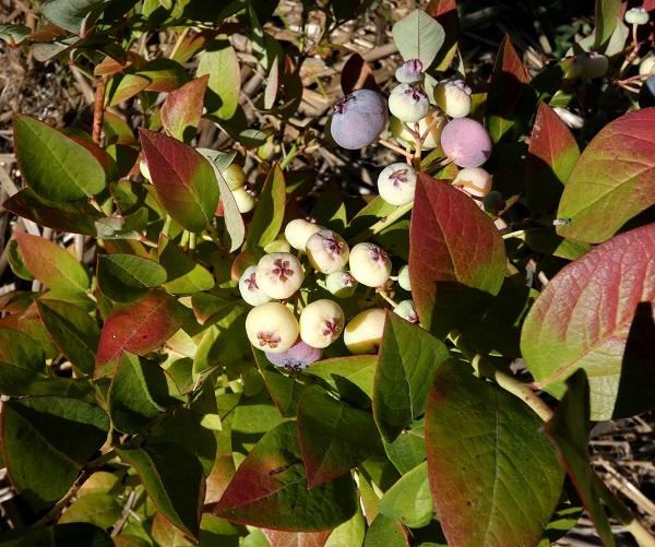 Last blueberry crop_geverettstudio