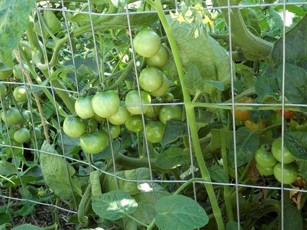 ripening tomatoes_geverettstudio